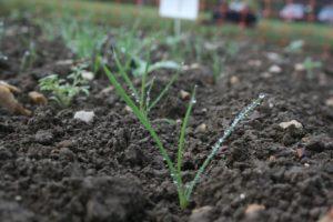 Bayer Variable black-grass control needs follow up treatment