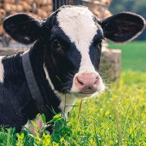 Cow - New test speeds up mastitis diagnosis in farmyard