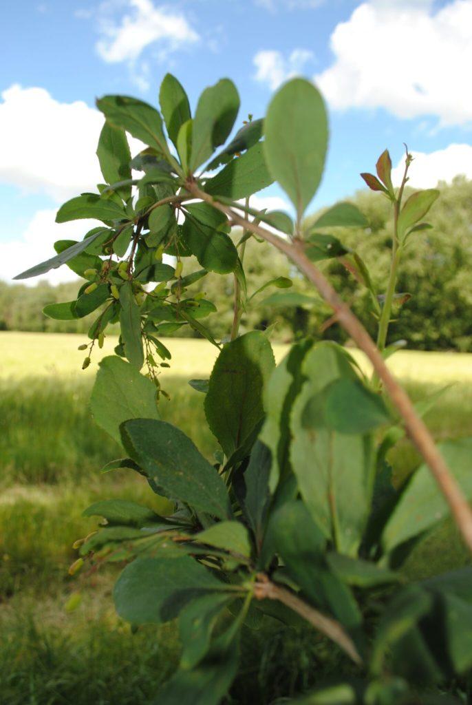 Barberry bush stem rust