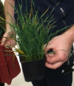 Barley infected by Yellow Rust