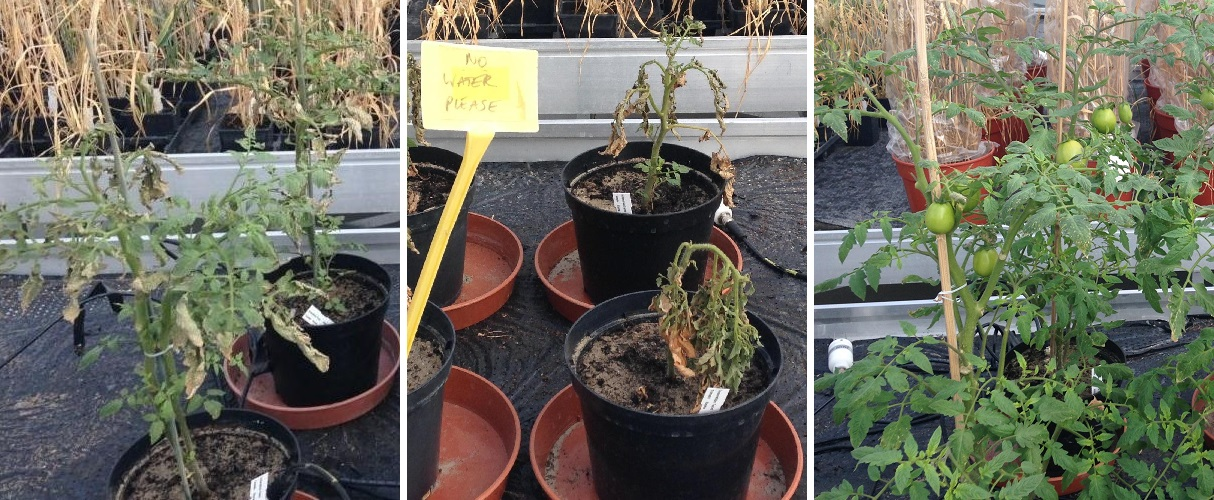 Tomatoes not watered for 9 days in sand, in sand and soil mix, in sand and Biomation PBSA