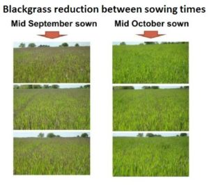 Blackgrass reduction between sowing times