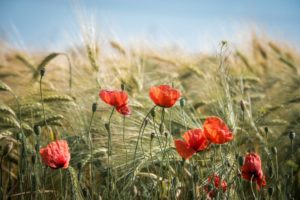 Poppy in field conserving Environment