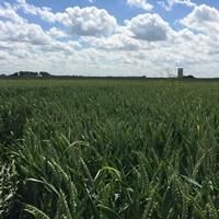 Wheat prices to remain at historical high